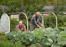 Two men work in a kitchen garden Stock Images