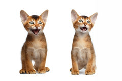 Two Meowing Abyssinian Kitty Sitting on Isolated White Background. Two Cute Abyssinian Kitten Sits and Meowing on Isolated White Background, Front view, Baby Cat stock photo