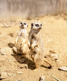 Two Mere Cats standing on look out. Mere cats Posing on look out for potential danger Royalty Free Stock Images