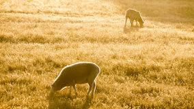 Two Merino sheep grazing Royalty Free Stock Photography