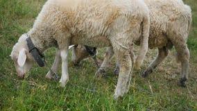 Two Merino sheep lamb in the paddock.  stock footage