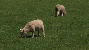 Two Merino sheep lamb in the paddock stock video footage