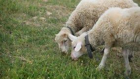 Two Merino sheep lamb in the paddock.  stock video