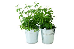 Two metal bucket with woodruff plants Royalty Free Stock Images