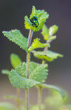 Two metalic green beetles mating. In the wild Royalty Free Stock Photo