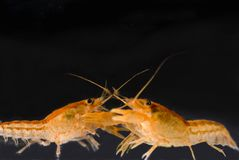 Two Mexican dwarf orange crayfishes fighting Royalty Free Stock Photo