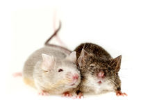Two mice. Isolated on white Royalty Free Stock Images