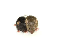 Two mice. From the same nest. They are genetic modief. One is black the other one is brown (agouti Stock Images