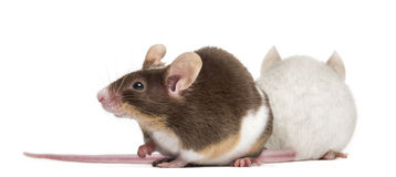 Two mice. Back to back Royalty Free Stock Image
