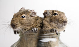 Two mice in jar Stock Image
