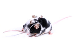 Two mice - two direction Royalty Free Stock Image