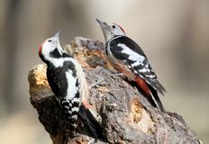 Two middle spotted woodpeckers sit on a forest feeder. And fighting for food Royalty Free Stock Images