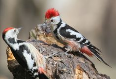 Two middle spotted woodpeckers sit on a forest feeder. And fighting for food Royalty Free Stock Photo