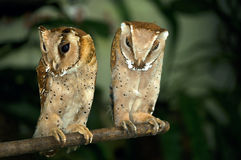 Two midget barn owls. Stock Photo