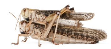 Two migratory locust, Locusta migratoria. In front of white background stock photography