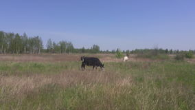 Two milk cows in pasture in early spring stock video footage