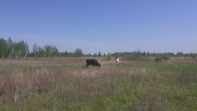 Two milk cows in pasture in early spring stock footage