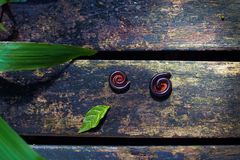 Two millipede insects twisted in protective reaction laying on wooden path in tropical garden Royalty Free Stock Photos