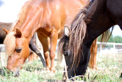 Two Minature Horses Grazing Royalty Free Stock Image