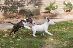 Two mini bull terrier puppies playing royalty free stock photos