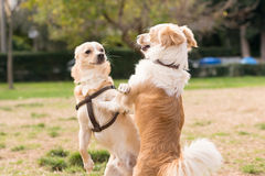Two mini dogs against each other. A beautiful moment of playing in a park. Royalty Free Stock Image