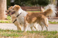 Two mini dogs at a park. Royalty Free Stock Images