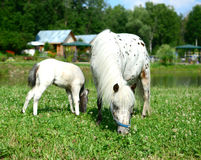 Two mini horses Falabella graze on meadow, selective focus. Two mini horses Falabella, mare and foal, graze on meadow  in summer, selective focus Stock Photography