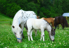 Two mini horses Falabella, mare and foal, graze on meadow, selec. Two mini horses Falabella, mare and foal, graze on meadow in summer, selective focus Stock Images
