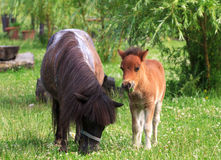 Two mini horses Falabella on meadow  in summer, selective focus. Two mini horses Falabella on meadow  in summer, bay and black, selective focus Stock Photos