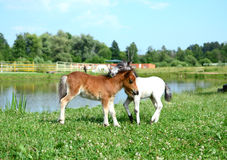 Two mini horses Falabella playing on meadow, bay and white, sele. Two mini horses Falabella playing on meadow in summer, bay and white, selective focus Stock Photos