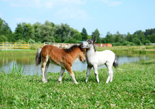 Two mini horses Falabella playing on meadow, bay and white, sele. Two mini horses Falabella playing on meadow  in summer, bay and white, selective focus Royalty Free Stock Image