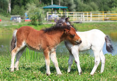 Two mini horses Falabella playing on meadow, bay and white, sele. Two mini horses Falabella playing on meadow  in summer, bay and white, selective focus Royalty Free Stock Photos