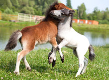 Two mini horses Falabella playing on meadow, bay and white, sele royalty free stock images