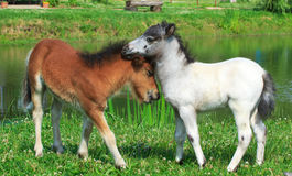 Two mini horses Falabella playing on meadow, bay and white, sele. Two mini horses Falabella playing on meadow in summer, bay and white, selective focus Stock Images