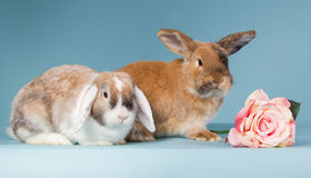 Two mini lop rabbits with rose. Two mini lop rabbits on a blue background Royalty Free Stock Image