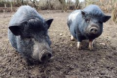 Two mini pig in mud stock images