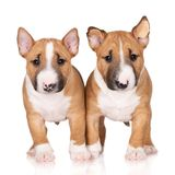 Two miniature bull terrier puppies on white background. Red miniature bull terrier puppies royalty free stock images