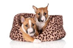 Two miniature bull terrier puppies on white background. Red miniature bull terrier puppies royalty free stock image