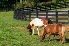 Two miniature horses grazing on the farm inside the black fence. stock photography