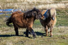 Two miniature horses interacting with each other. stock images