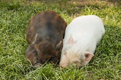Two miniature piglets resting in grass Royalty Free Stock Image