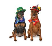 Two miniature Pinscher dogs in hats. Two miniature Pinscher dogs dressed in hats and scarves sitting and looking at the camera. isolated on white background stock photo