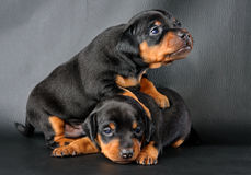 Two Miniature Pinscher Puppies Stock Photography