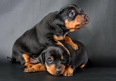 Two Miniature Pinscher Puppies. The Miniature Pinscher puppies, 3 weeks old Stock Photography