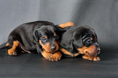 Two Miniature Pinscher Puppy Stock Photos