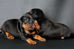 Two Miniature Pinscher Puppy Royalty Free Stock Images