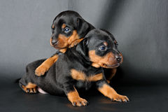 Two Miniature Pinscher Puppy Stock Photography