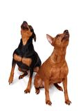 Two Miniature Pinschers. Looking up Royalty Free Stock Photography