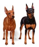 Two Miniature Pinschers Royalty Free Stock Photography