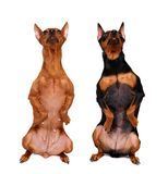 Two Miniature Pinschers Royalty Free Stock Images